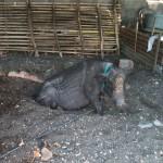 Cochons en bord de plage
