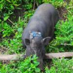 cochon et son collier