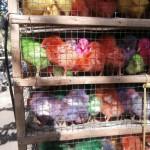 poussins multicolores