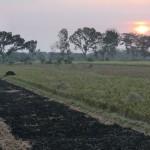 une fois le riz récolté on brûle