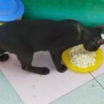 chat mangeur de riz