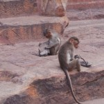 singes voleurs
