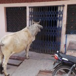 vache mendiante