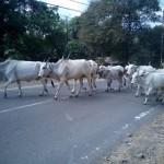 les vaches ont la priorité