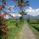 chemin dans les rizières
